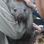 patting a baby wombat
