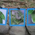 first three stages of the caterpillar to chrysalis