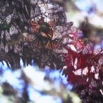 someone's photograph of a cluster of Monarch butterflies
