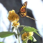 a lone Monarch butterfly lights on a flower, just for a moment