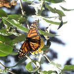 ahh, a Monarch butterfly unfolds its wings for its close-up