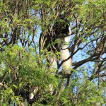 Black and white colobus monkeys on the trees above the lodge