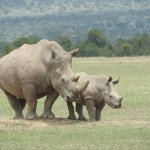 Mum & baby white rhino