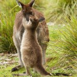 A wild kangaroo and her joey at Flinders Chase National Park