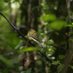 A friendly little Bellbird, just outside a feeding station