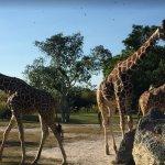 la comelonas jirafas
