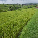 Jatiluwih Rice Fields - VW Things drive tourists through