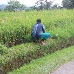 Jatiluwih Rice Fields - Mowing grass by hand