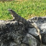Iguana enjoying sun shine