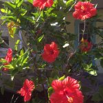 Step outside room #5 & see Vibrant flowering Hibiscus trees right outside room #5's unit, poolsi