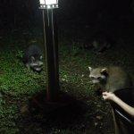 Visite de ratons laveurs dans le jardin