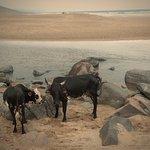 Wild Coast cows enjoying the beach