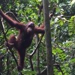 Foto de Sepilok Orangutan Sanctuary