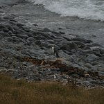 Single Yellow-eyed Penguin from 200 M with 150-600 Tamron lens
