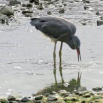 Heron feeding at low tide.