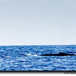 Whales, Kona, Hawaii