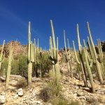 Many saguaro cacti in the Canyon.