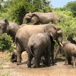 the elephants at the watering hole off the park