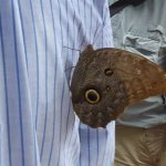 Owl butterfly catching a ride
