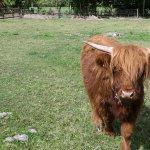 Mamzelle est une vache highland