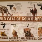 The wild cats of South Africa