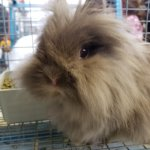 Lionhead bunny in the petting section