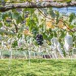 Photo of Shoren Temple Kankomura Grape Picking