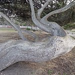 interesting trunk of a tree in the yard outside the lighthouse