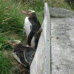 Yellow-eyed penguin seating