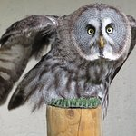 Lovely owl used on flying displays.