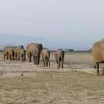 Elephant in a line