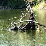 Alligator In Hannah Park Waters