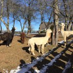 Some of the Alpacas and Llamas