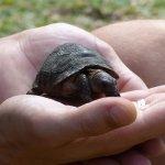 Babyschildkröte gab es neber einer Riesenschildkröte auch