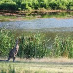 Kangaroo by the dam