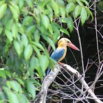 Stork billed kingfisher from boat