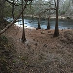 Suwanee River cypress trees