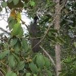 Crested Guan, seen on walk on Hidden Valley property