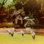 Yellow Billed Storks at the reception area