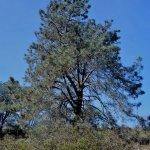 Huge Torrey Pine