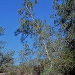 Young Torrey Pine