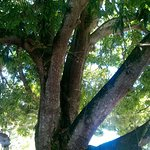 sob a imensa mangueira