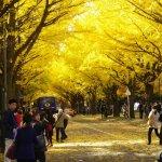 北13条門前の銀杏並木の黄葉