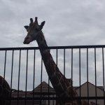 Общительный жираф