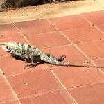 Iggy, one of the hotel's iguanas taking a stroll for breakfast. Cute!