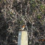 Couldn't find a Peregrine this time - the Robin stood in for him!