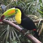 Toucan (the national bird of Belize) at the Belize Zoo.