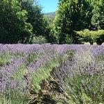 ภาพถ่ายของ Lavender Hue