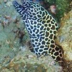 Honeycombe moray eel
