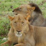 the local (friendly?) lions!